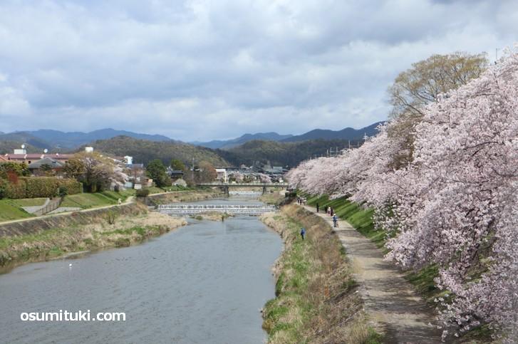 高野の桜並木、高野川に沿って満開の桜を見ることができます