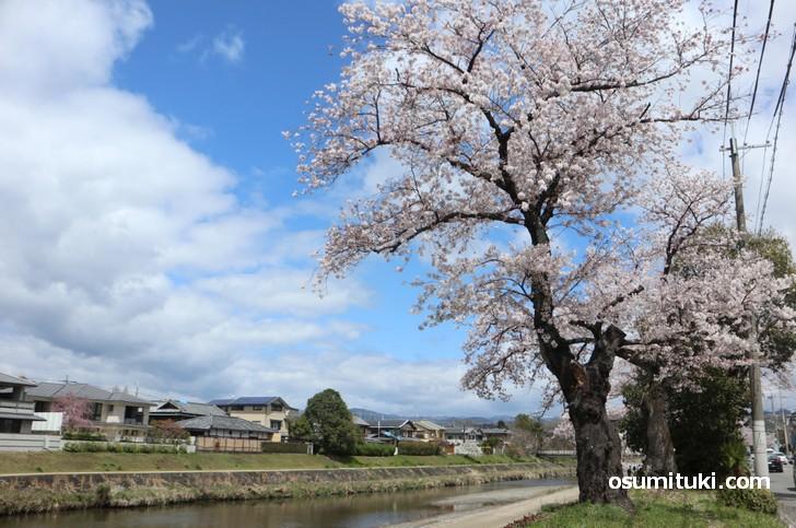 高野川沿いの遊歩道から桜並木を歩くことができます