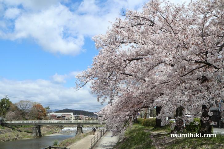 大きな桜の木が多く、人も少ないので穴場の桜スポットです