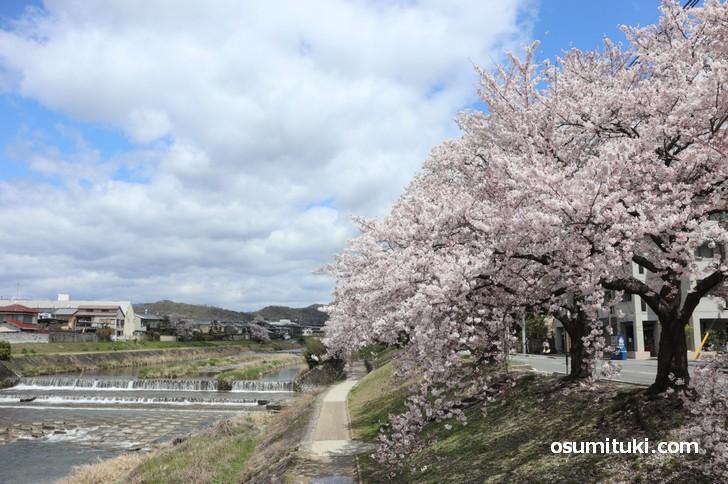桜の下でのんびりお弁当を食べることもできます