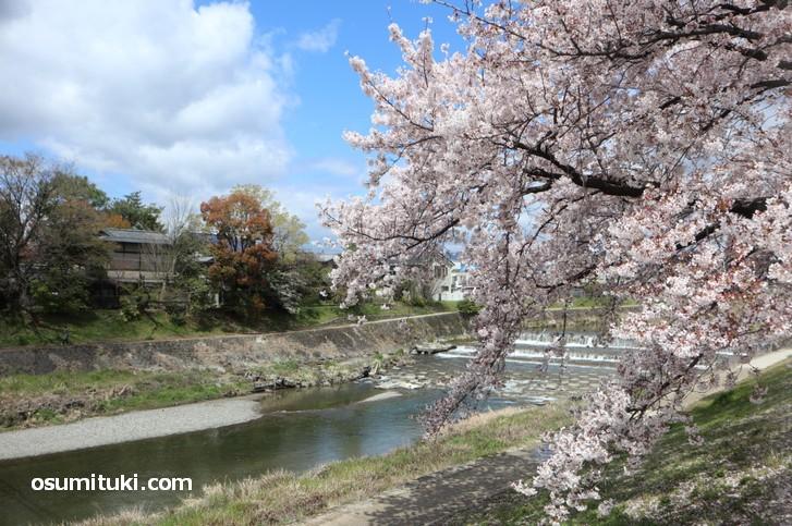 高野川を見ながら桜並木を1.3km歩きました