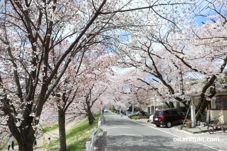 賀茂川 桜のトンネル(2019年4月11日)