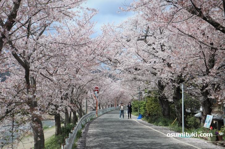 道の両側に桜があるので桜のトンネルのようになっています