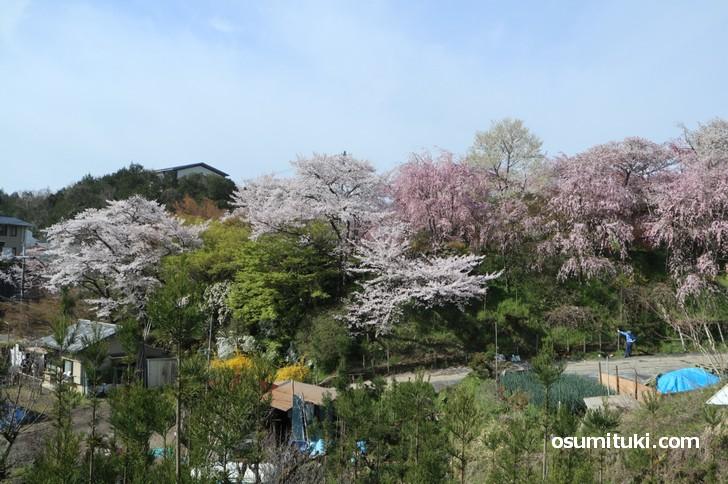 京都「原谷苑」桜の開花状況(2019年4月12日)