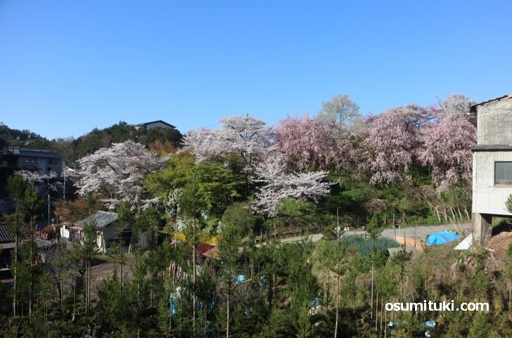 京都「原谷苑」桜の開花状況(2019年4月13日)