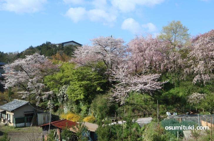京都「原谷苑」桜の開花状況(2019年4月15日)