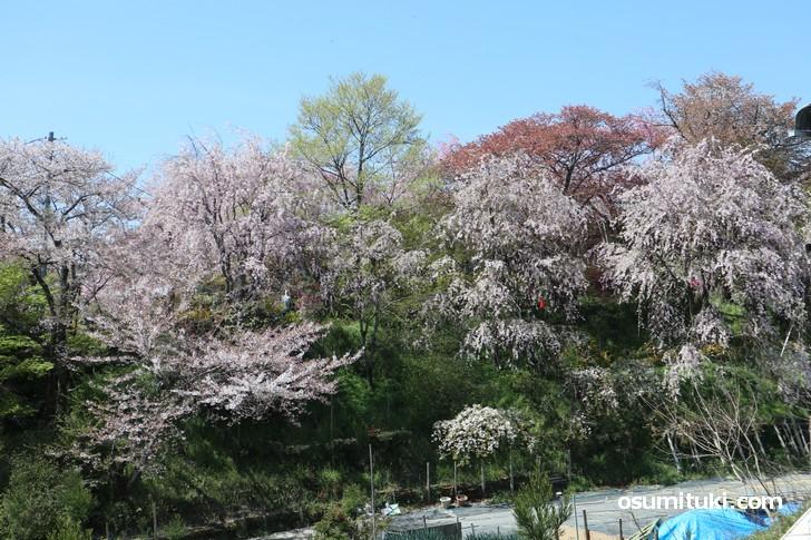 京都「原谷苑」桜の開花状況(2019年4月16日)