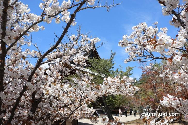 桜の隙間から建物も一緒に撮影すると良い感じです