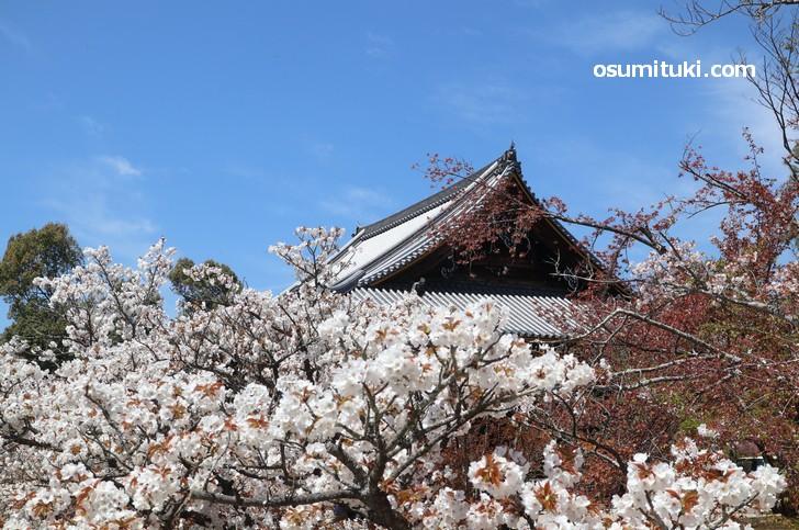 2019年4月16日「仁和寺の御室桜」開花写真