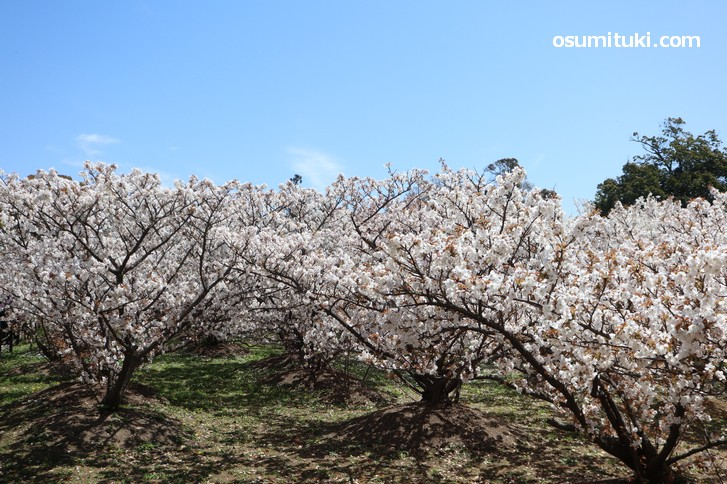 小柄で低い位置に花が咲くので見やすい桜です