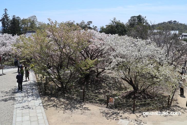 高見台からの御室桜