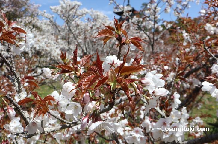 まだ、つぼみの桜も多く見られました(2019年4月16日)