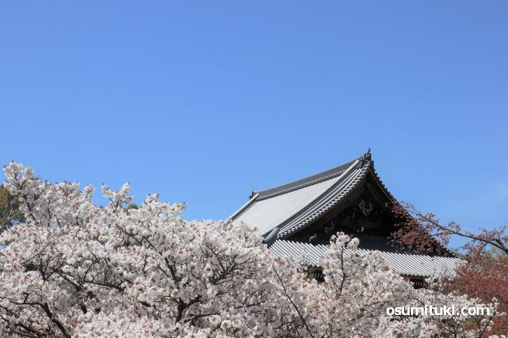 観音堂と御室桜(1)