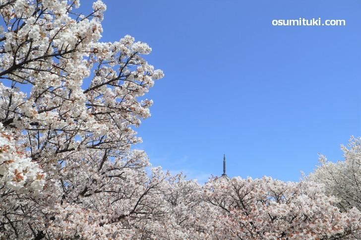 角度によっては五重塔と御室桜を写すことは可能です