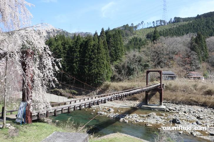 京北「魚ヶ渕吊り橋」にある美しい桜です