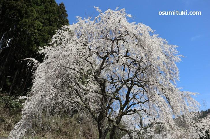 魚ヶ渕吊り橋の桜、大きく枝を広げた雄大な桜です