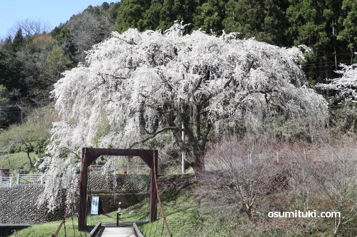 魚ヶ渕吊り橋の桜 の満開写真(2019年4月16日撮影)
