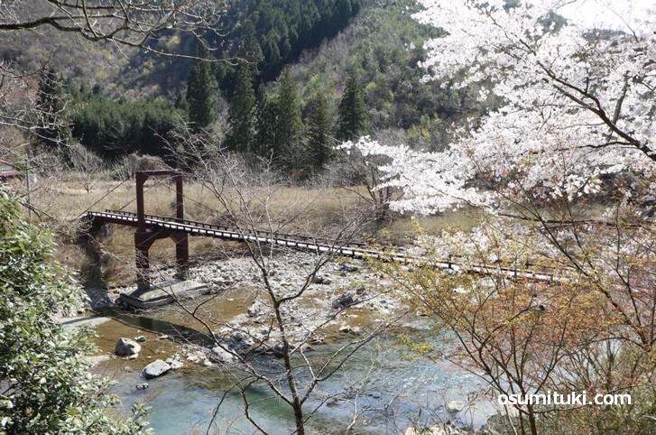 吊橋と桜の組み合わせもGoodです!