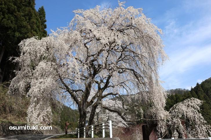 土手の上から撮影した「魚ヶ渕吊り橋の桜」