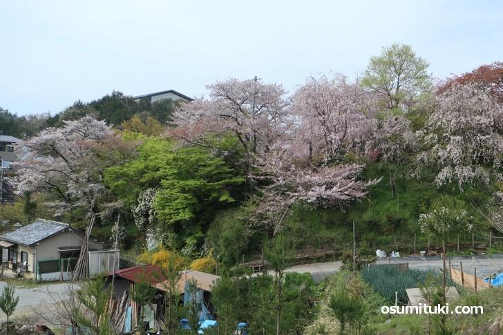 京都「原谷苑」桜の開花状況(2019年4月17日)