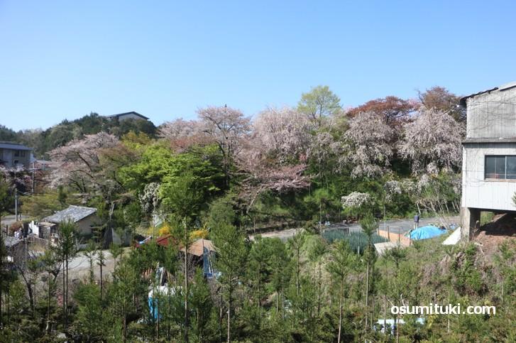 京都「原谷苑」桜の開花状況(2019年4月18日)