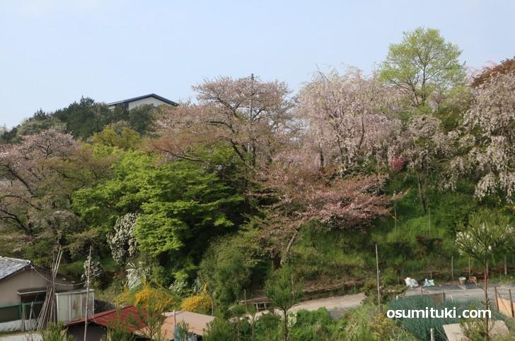 京都「原谷苑」桜の開花状況(2019年4月19日)