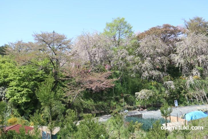 京都「原谷苑」桜の開花状況(2019年4月20日)