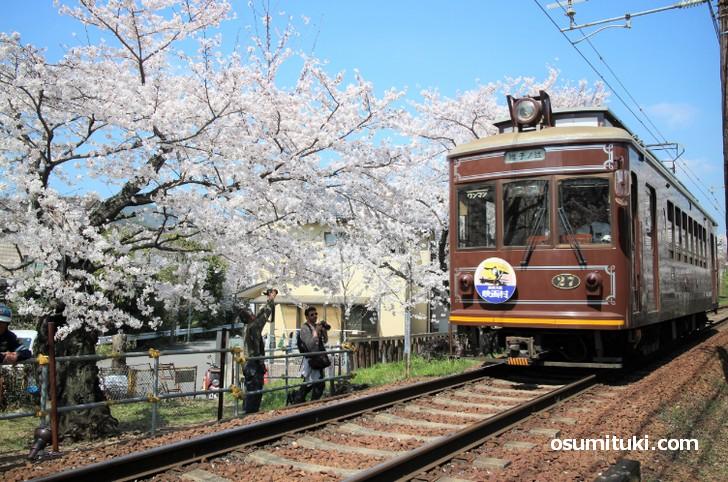 鳴滝へと向かうため桜のトンネルを走る嵐電