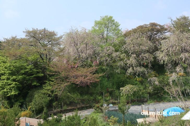 京都「原谷苑」桜の開花状況(2019年4月21日)