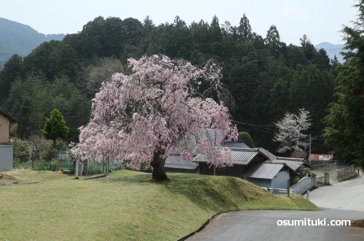 常照皇寺の門前一本桜