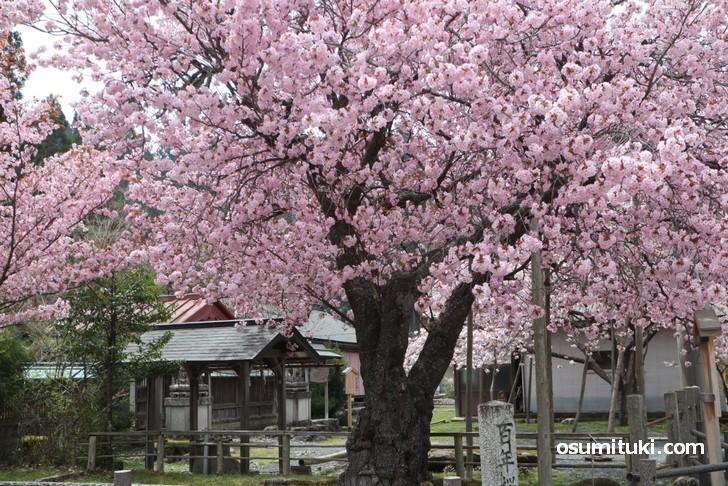豪華絢爛な桜です(黒田百年桜)