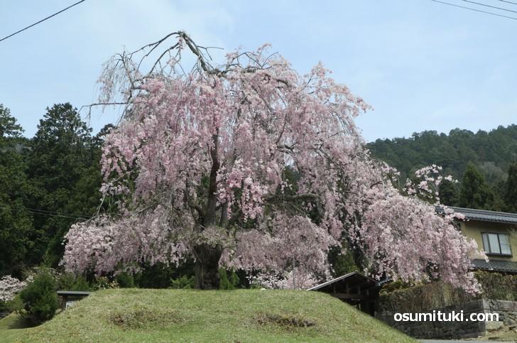 常照皇寺の門前一本桜なら無料で花見ができます