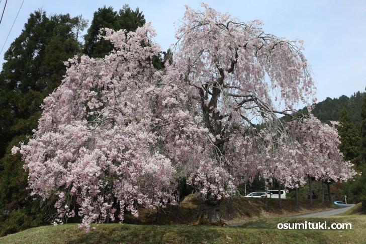門前一本桜、見る角度で雰囲気が一変します