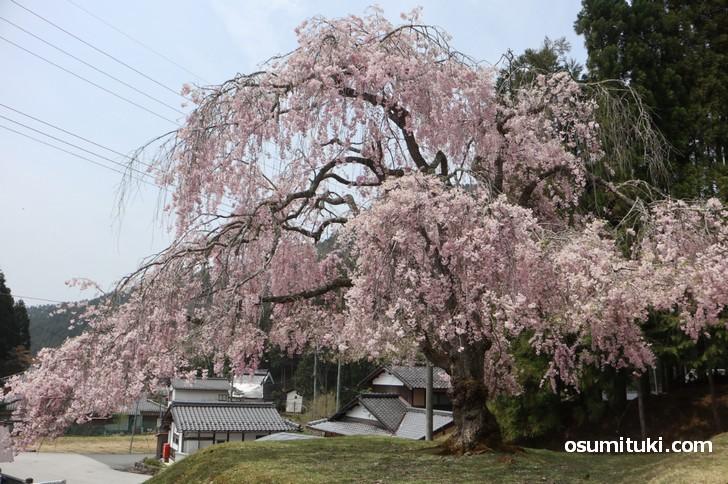 360度どこからでも見られる桜