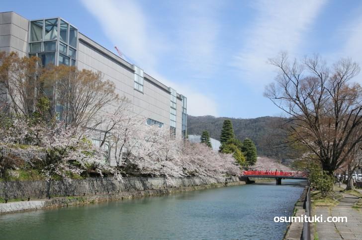 カフェ「Lignum」前の疎水、桜が綺麗な場所です