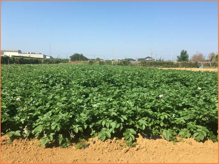静岡県浜松市三方原(みかたはら)のジャガイモ畑、赤土で育つ甘くホクホクしたジャガイモです