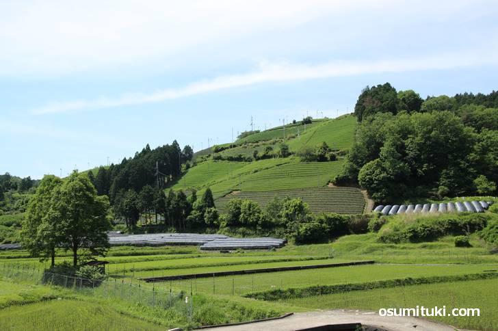 和束町の茶畑、宇治茶の生産地として800年の歴史があります