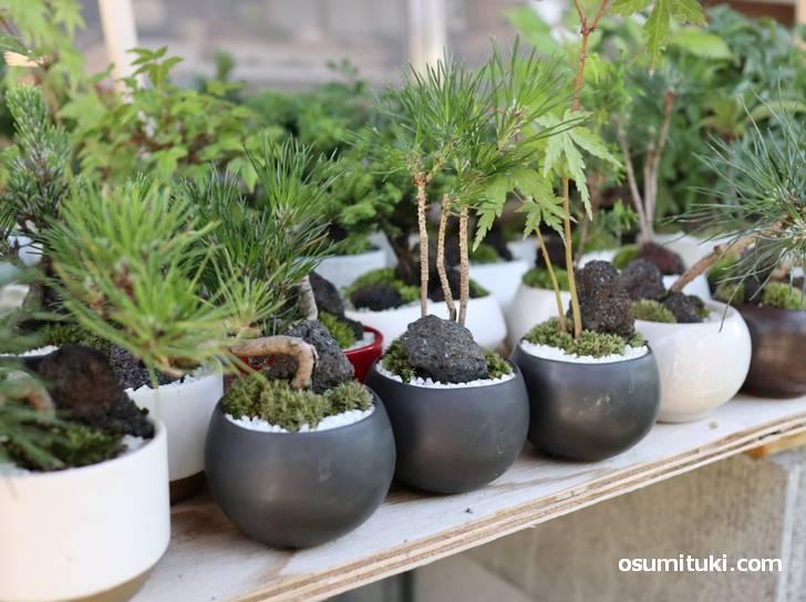 こちらの盆栽は百貨店や催しもので販売されているそうです