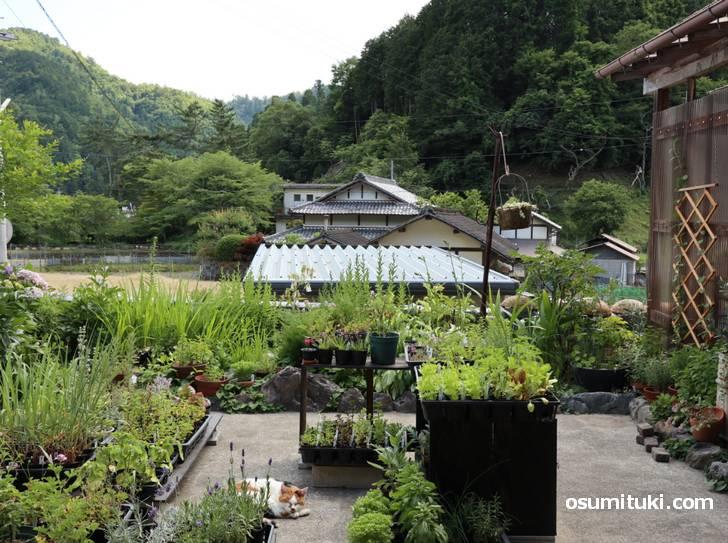 南丹市日吉町四ツ谷の長閑な風景を眺めながらハーブティーをいただきましょう