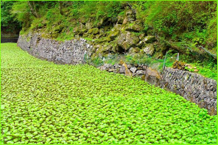 伊豆半島・天城山系の清流で育つ山葵(湯ヶ島)