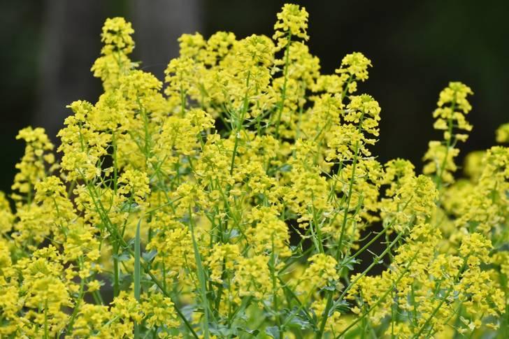 自家栽培の「カラシナ」の種で「ふえふきマスタード」は生産されています