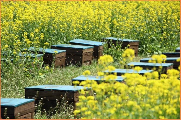 広大な土地を持つ空港での養蜂は農薬の影響が少ないというメリットがある