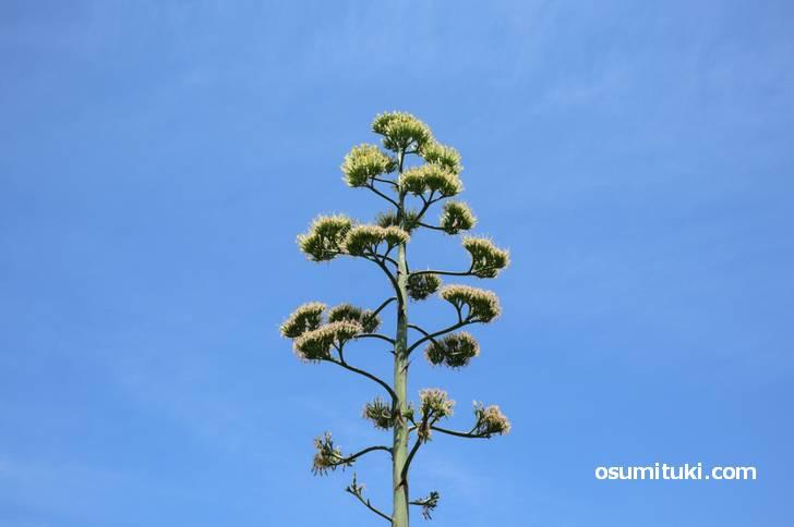 幻の花「リュウゼツラン」が数十年ぶりに開花