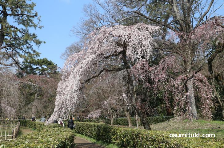 近衛桜が2020年3月15日頃から満開見頃