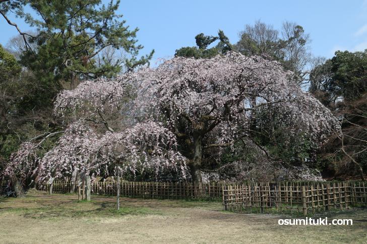 綺麗に咲いている近衛桜
