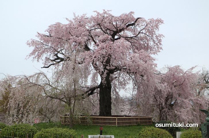 目の前には「祇園しだれ桜」があります
