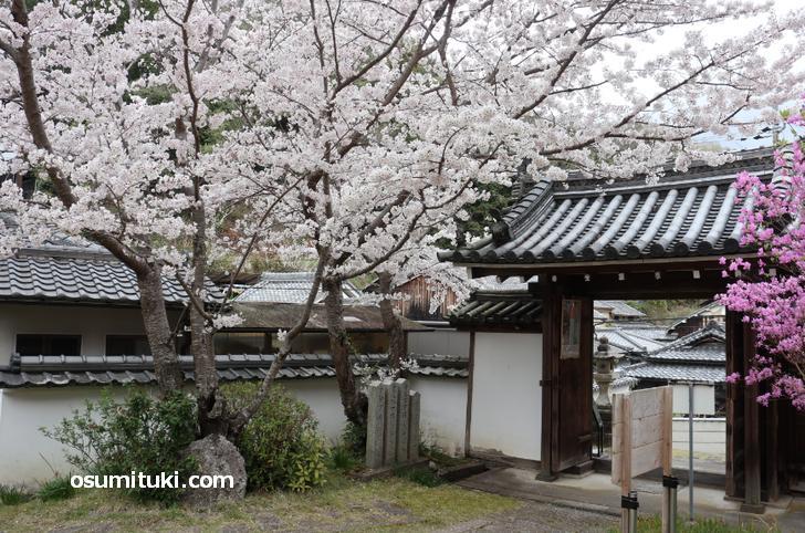 神童寺(京都府木津川市)の桜が満開