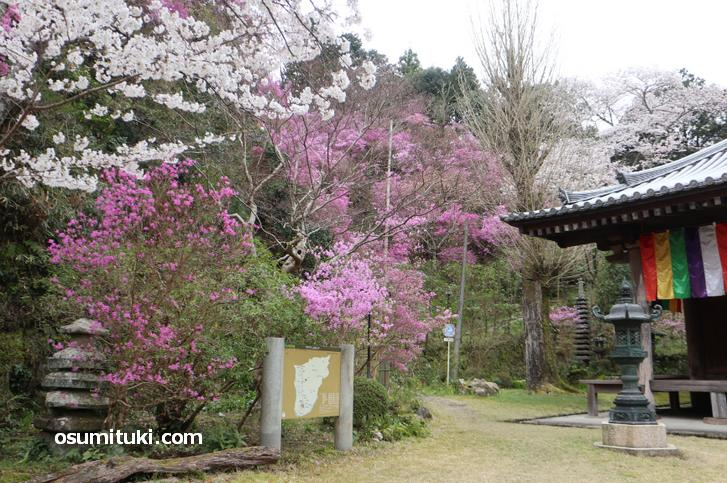 ピンク・白色の桜が満開でした(神童寺)