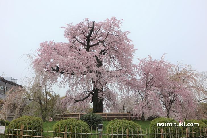 京都・円山公園の「しだれ桜」が満開