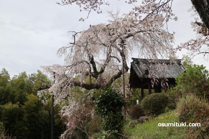地蔵院にある「祇園しだれ桜」の姉妹桜